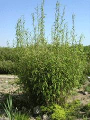 Fargesia nitida  w Ogrodzie Botanicznym PAN w Powsinie