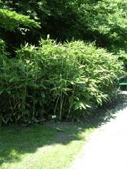 Sasa palmata  w Ogrodzie Botanicznym w Poznaniu