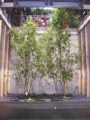 Bambusy we wnętrzu budynku Agora  w Warszawie