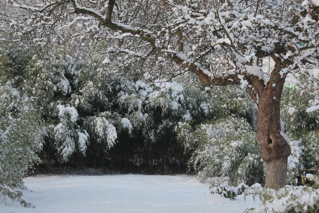Phyllostachys aureosulcata f.aureocaulis pod śniegiem. Zima 2014/2015